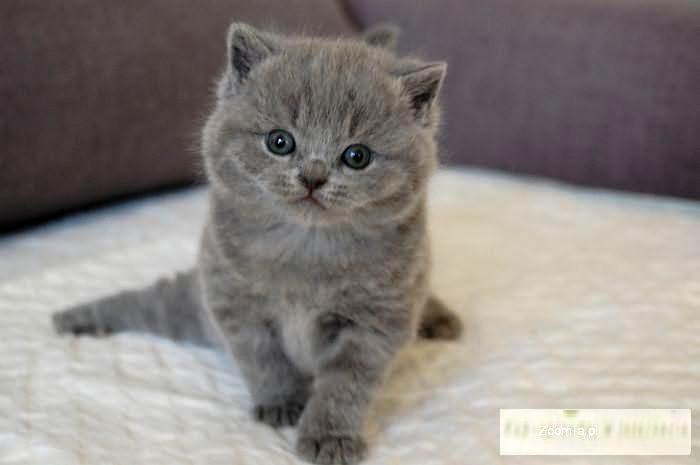 Koty Brytyjskie Cena Zkb53 Usafrica
