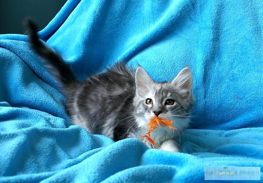 FELICE piękna koteczka szuka domu