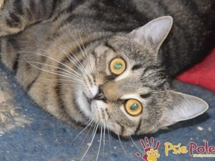 LAZUREK-super miły  kochany  grzeczny duży kotek-szukamy kochającej rodziny