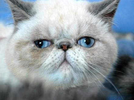Kamea -kotka EXO z niebieskimi znaczeniami