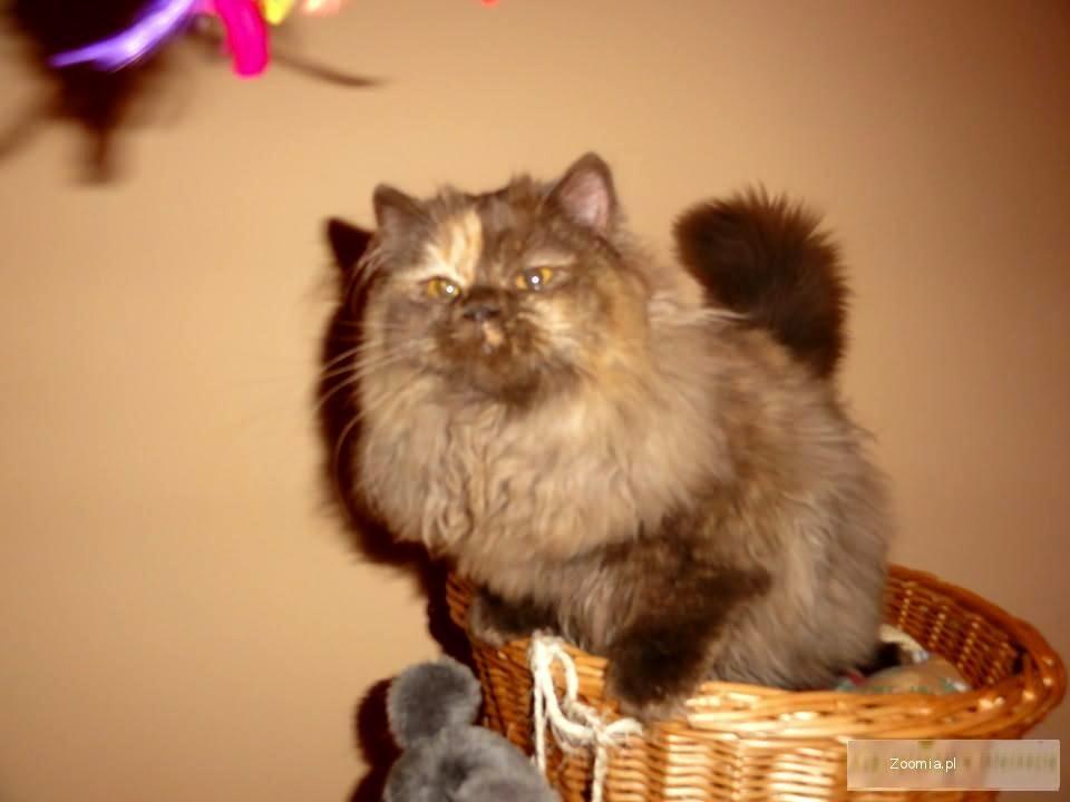 Brytyjskie koteczka czekoladowa-szylkretka