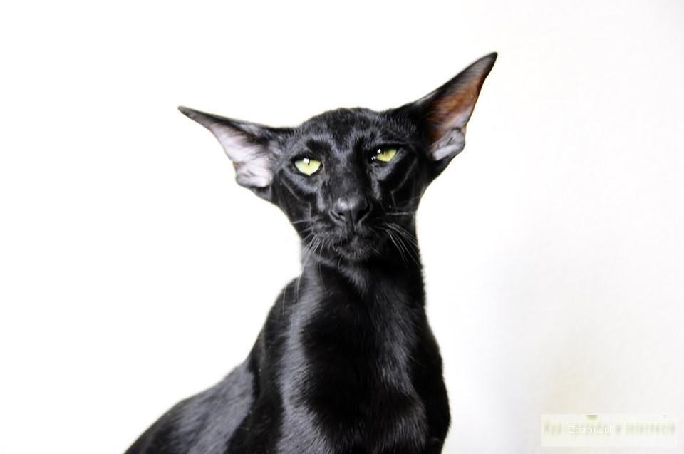 Bardzo dobryFantastyczny Kot Orientalny Cena JY85