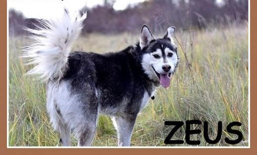 Duży pies rasy husky  grzeczny łagodny towarzyski ZEUSAdopcja   łódzkie Łódź
