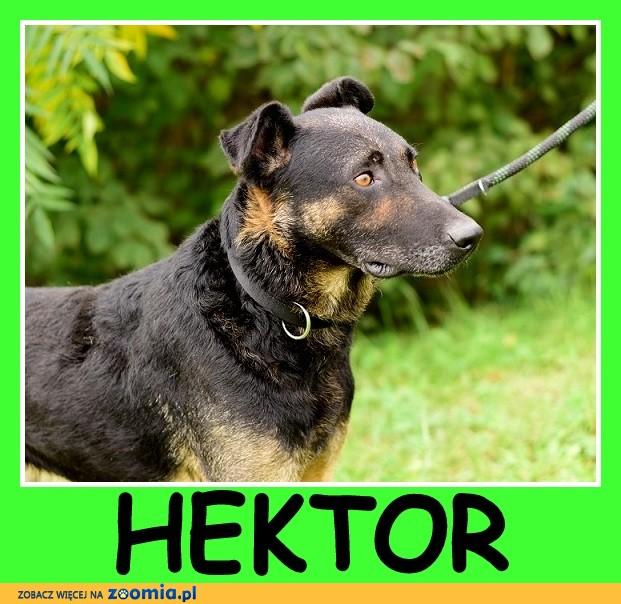 Energiczny, czujny,do stróżowania, duży pies HEKTOR_Adopcja_