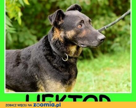 Energiczny  czujny do stróżowania  duży pies HEKTOR_Adopcja_