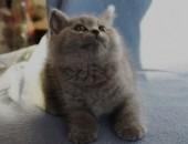 ODBIÓR_Piękne duże koty brytyjskie niebieskie | Rodowód FPL_