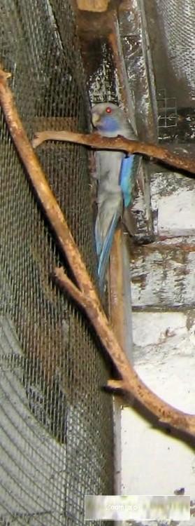 Rozella Królewska - cynamon niebieski