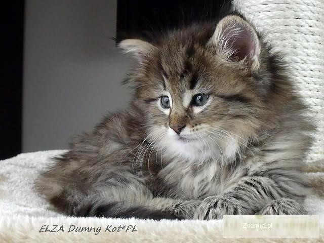 Kocięta Norweskie Leśne W Hodowli Dumny Kot Norweski Leśny Koty