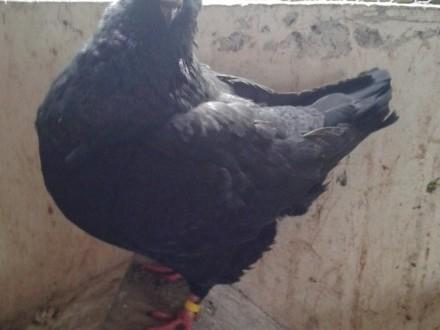 Gołębie King czarny - samiec Ryś niebieski łuskowany