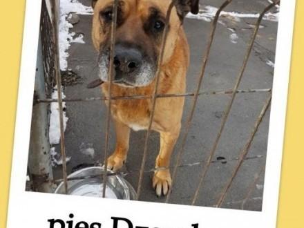 Tęskniący za swoim czowiekiem przyjazny w typie amstaffa pies DŻAMBOAdopcja    mazowieckie Warszawa