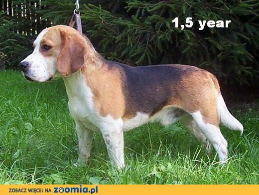 Beagle - szczenięta & krycie - ZKwP/FCI