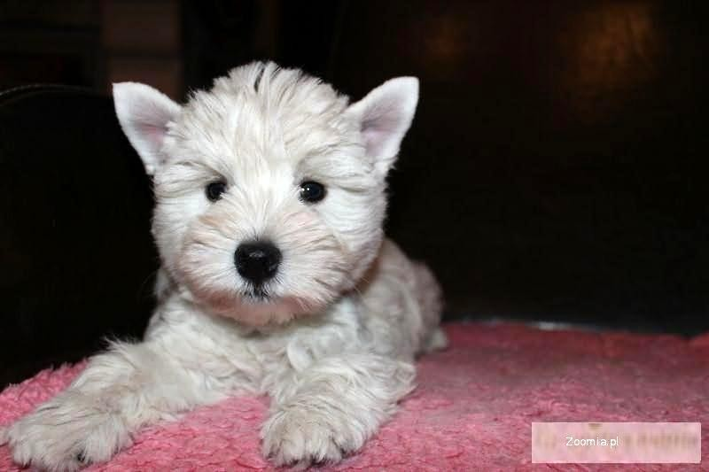 West Highland White Terrier po INTERCHAMPIONACH już do odbioru