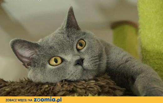 Kocur kot brytyjski reproduktor krycie ,  wielkopolskie Ostrów Wielkopolski