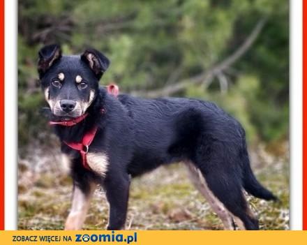 6- mies  szczeniak  pinczer do adopcji  Osito_