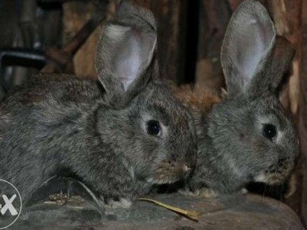 Sprzedam młode króliki rasowe : BOS  BOB  BF