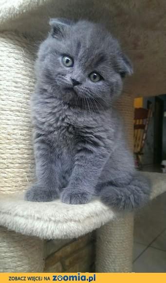 Kot Rasowy Ogłoszenia Z Hodowli Sprzedam Koty Zoomiapl Pl 3