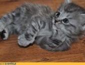 Przepiękna Kotka Syberyjska Libi*Siburcat z Rodowodem              Rodowód