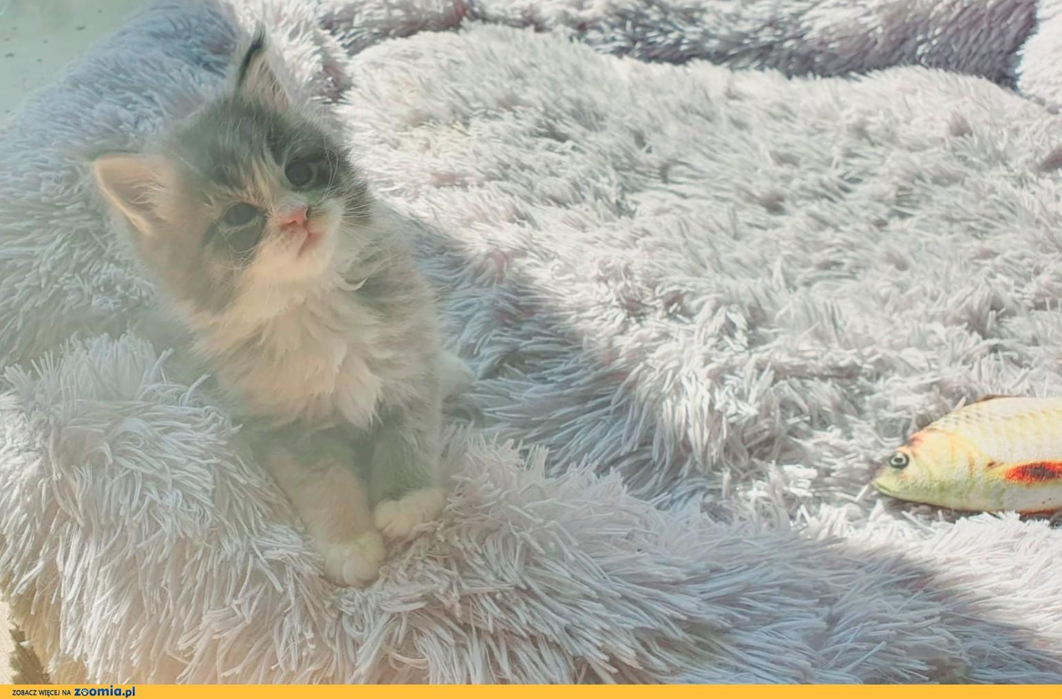 Koteczka Maine Coon z opcja do hodowli