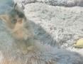 'Koteczka Maine Coon z opcja do hodowli