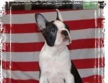 Boston Terrier - piesek z rodowodem ZKwP