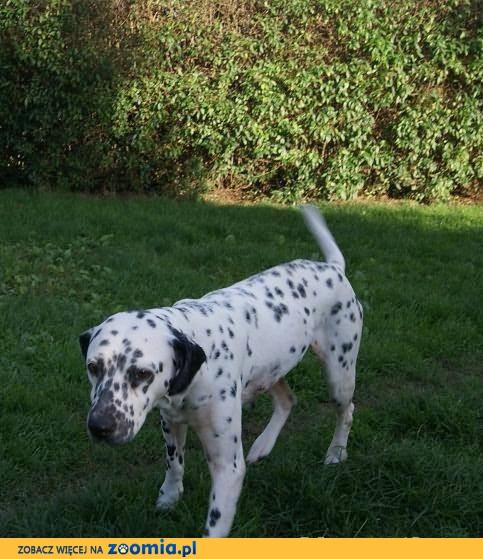 Axa - cudowny dalmatyńczyk szuka kochającego domu.