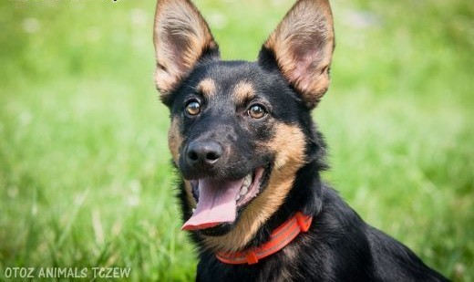 OTOZ Animals - Scyzoryk - 7 miesięczny szczeniak szuka cudownego domu!   pomorskie Tczew