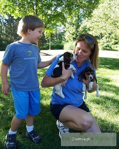 dwa dobrze wyglądające szczenięta Beagle z rodowodem.