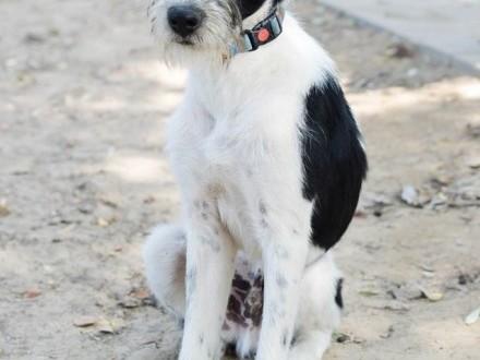 Fado  młodziutki terierek  fantastyczna psina do adopcji!