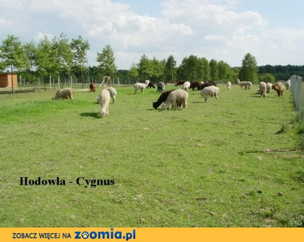 Hodowla alpak Cygnus