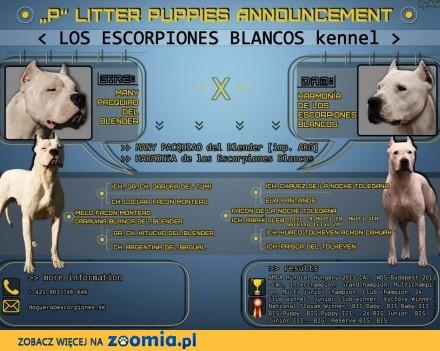 Dog Argentyński - szczenięta na sprzedaż