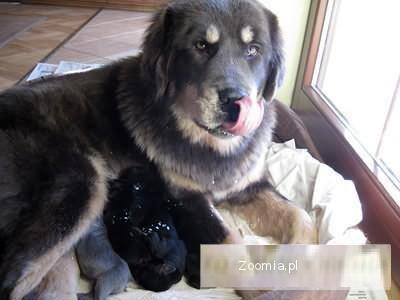Mastif Tybetański nie może być bezpański