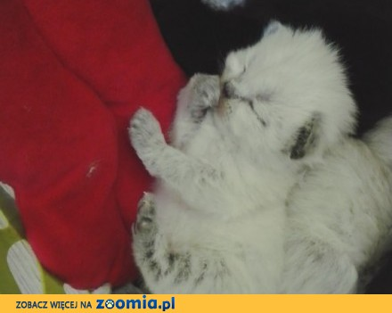 Kociaki perskie
