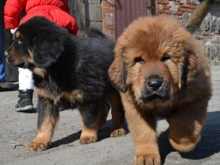 Mastif tybetański piękne szczeniaki czerwone  złote  czarne podp ZKwP
