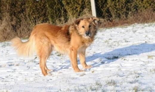 Teddy  pies  który przypomina misia z bajki   lubelskie Lublin