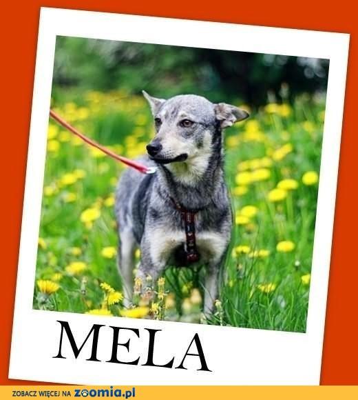 MELA-mała 9kg, młodas,łagodna,przyjazna,sterylizowana suczka.ADOPCJA