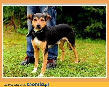Duży 23 kg przyjacielski  przytulaśny  towarzyski pies KISIEL_Adopcja
