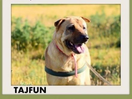 TAJFUN duży pies sharpei mix wierny  do domu z ogrodemADOPCJA   wielkopolskie Rzeszów