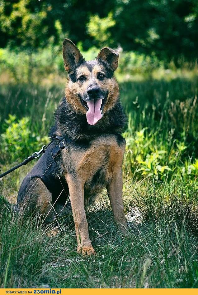 Freda wielkie psie marzenie to mieć Ciebie ,  mazowieckie Warszawa