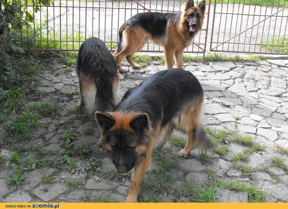 Owczarki niemieckie długowłose - roczniaki