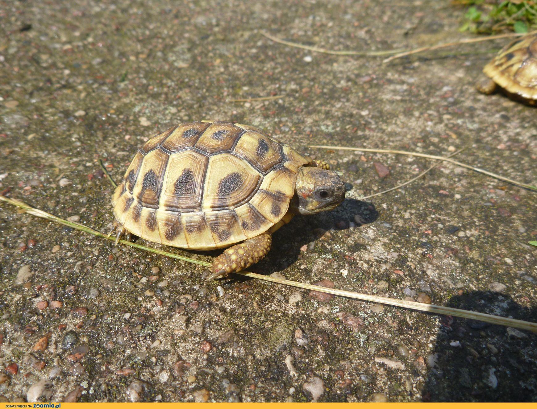 Żółw żółwie Greckie Lublin Warszawa Radom Jesień 2014