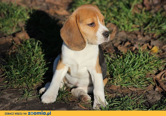 Beagle Tricolor szczeniaczki ZKwP