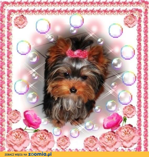 York,yorki,yorkshire terrier!ELITARNE mini cudeńka!xxxs- ok.1 kgk...