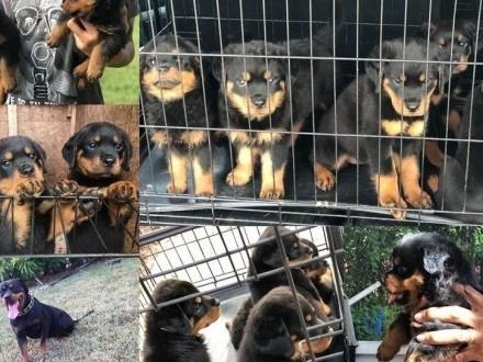 Rottweiler  szczenieta z rodowodem ZKwP (FCI) po chionach