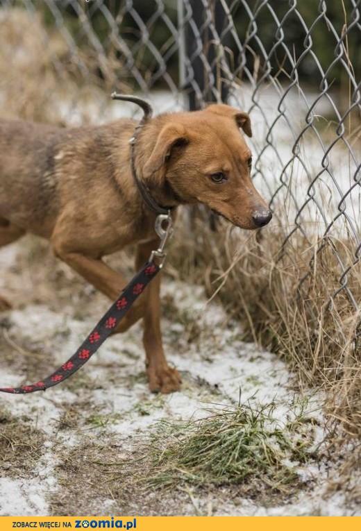 Nieduży, 1,5 roczny psiaczek szuka domu,  lubuskie Zielona Góra