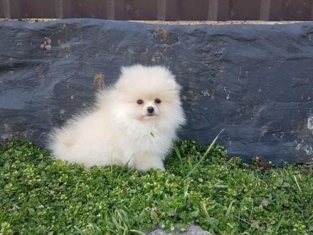 Pomeranian Suka FCI