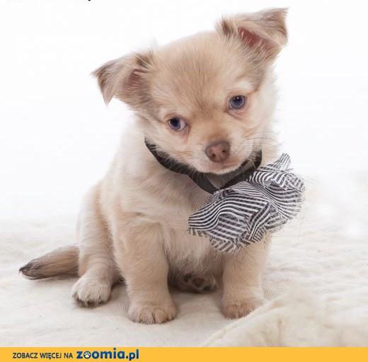 Chihuahua rodowód ZKwP / FCI uroczy niebieskooki szczeniaczek z brązowym noskiem,  łódzkie Łódź