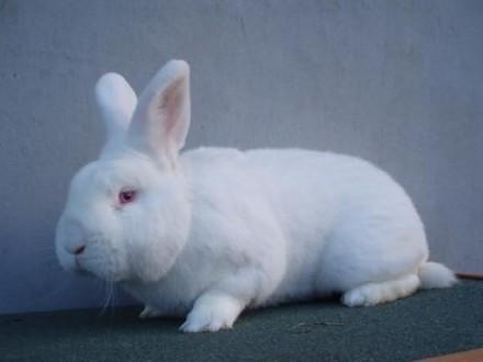 króliki   królik sprzedam NB możliwość wysyłki