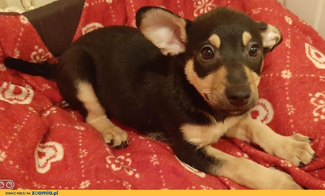 KOKOSZ - cudny, 3 miesięczny szczeniak szuka domu!,  mazowieckie Warszawa