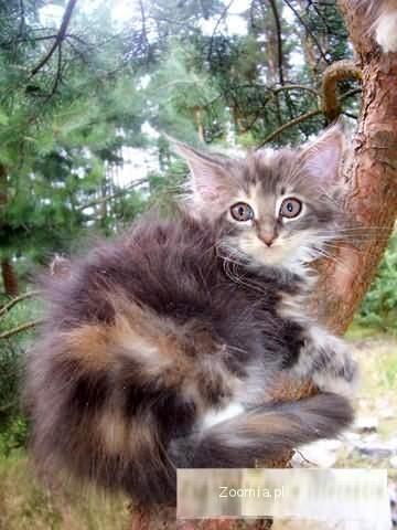 Rasowe Kocięta Miane Coon z Rodowodem na sprzedaż