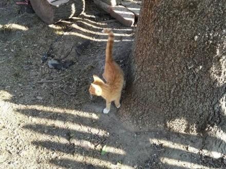 Zaginął rudy  młody kot Gradówek  lwóweckie